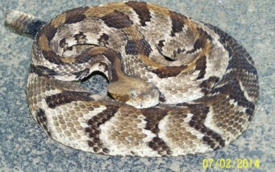 Rattlesnakes and a few Misconceptions